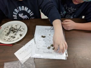 Students dissect owl pellets wtih tweezers and picks on a paper plate.