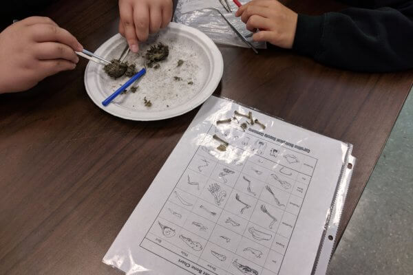 Students dissect owl pellets wtih tweezers and picks on a paper plate. Bone chart sheet is also shown.