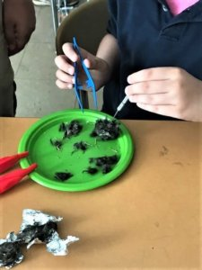 A student picks apart an owl pellet with tweezers
